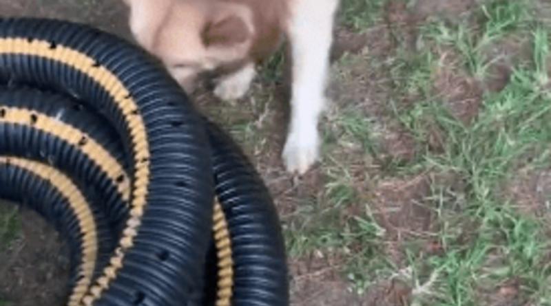 Perro salva la vida de un pequeño gatito que se encontraba atrapado dentro de una manguera