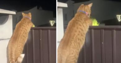 """Gato """"chismoso"""" trepa la puerta para escuchar una discusión de sus vecinos"""