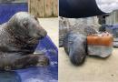 Una foca cumplió 31 años y lo celebra con un pastel hecho de hielo y pescado creado por sus cuidadores